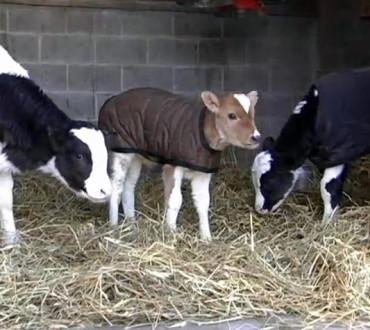 【可愛さ爆発】レスキューされた子牛達のホームカミング!