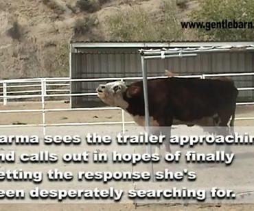【感動】母さん牛「カルマ」とその子牛の再会