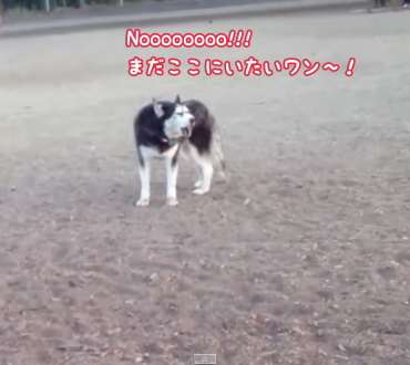 ドッグパークが好きすぎて帰りたくないハスキー犬が猛抗議が可愛すぎる〜♡