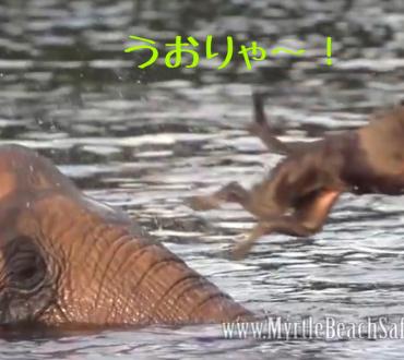 保護された象さんとラブラドールの友情〜(´♡ω♡`)