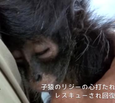 【動画】密漁者に母を殺され、自らも怪我をして生き残った子猿のリジーの心打たれる物語☆