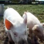 ファームサンクチュアリーで遊ぶ子豚ちゃん達