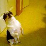 【アメリカ発人気ビデオ】チワワのパブロ&ドーベルマンのラムジー