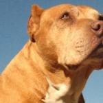 【追悼】「猛犬」と、間違ったレッテルを貼られているピットブルテリアの親善大使として活躍した「ダディ」