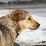 シーザーミラン:野良犬や捨てられた犬達の問題解決