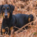 【カナダ発】マニトバ州、犬の断耳を禁止