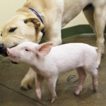 家畜トラックから落ちた子豚のムッシューと犬のハンター