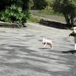 犬に混ざって走り回り、フェッチをする子豚☆