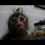 あまりにも可愛いすぎ!保護された猿の赤ちゃんがパイナップルをもらう動画
