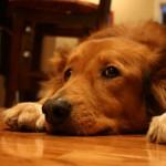 犬達の不安軽減を助ける為のハンドアウト☆「Dog Training Cheat Sheet – 不安軽減」