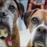 ベストフレンズ:テルマ&ルイーズ、2匹の老犬ボクサーが出会った新しい家族
