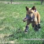 【アメリカ発】四つ足全部にバイオニック(人工)義足を着けて歩いたり、ジャンプしたりするレスキュー犬!
