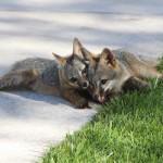 会社のキャンパスで暮らすキツネの親子を守る為、敷地内を「野生動物の生息地」として認定書を取得しちゃったFacebookがすごい!!