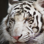 米国テキサス州のライオン、トラ、豹などの野生大型猫をレスキューし啓蒙活動を行う団体のVineが面白い!