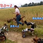 【ドイツ発】犬用車いすの犬達が楽しそうにフェッチ(ボールや木の枝投げ)をする姿が話題に!
