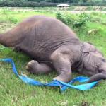 レスキュー施設でリボンで遊ぶ象さんが無邪気ですごーく可愛い件♡