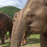 心がやさぐれた人はみてちょーだい!(笑)エレファント自然公園で暮らすレスキュー象さんたちに歌を唄うグループの映像に心洗われる気がした♡