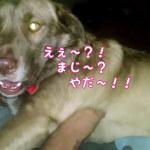 「え〜!絶対やだぁ〜!」父ちゃんに思い切り文句をいう犬ギャル「ニキータ」ちゃん♥
