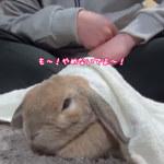 なんやねんこれ!めっちゃ可愛い!なでなでが止まると「ぐるるる〜」って文句&駄々をこねるウサギがいた!