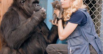 沢山の人に愛された「手話を使うゴリラ」のココ(Koko)天国へ